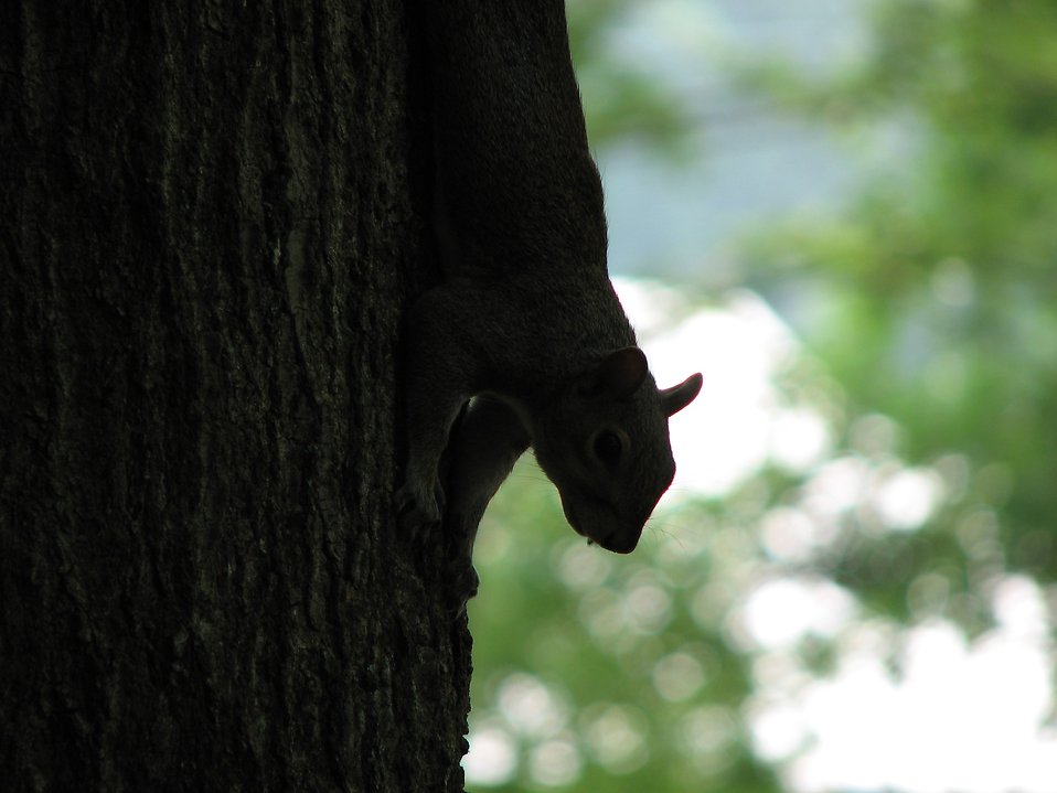 Squirrel silhouette : Free Stock Photo