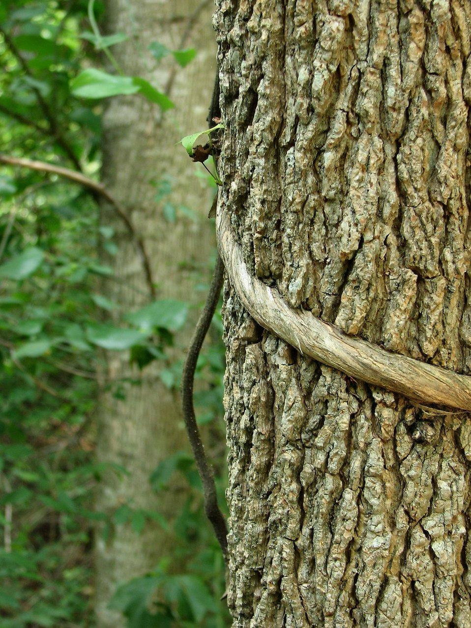 Tree with vine : Free Stock Photo
