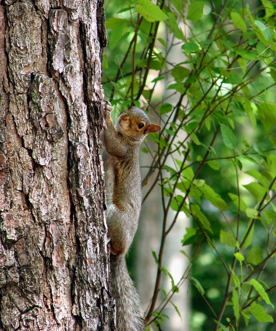 Squirrel on a tree : Free Stock Photo