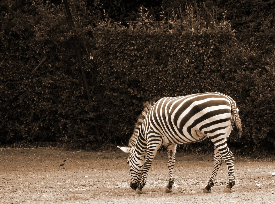 Zebra sepia tone : Free Stock Photo