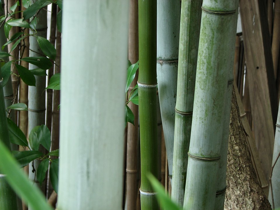 Bamboo : Free Stock Photo