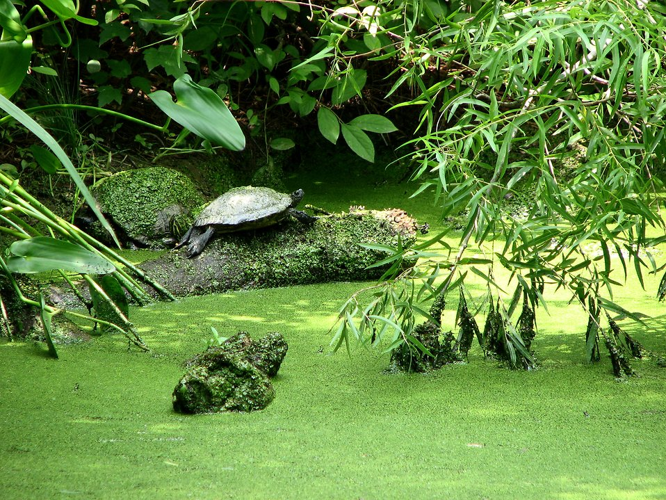 Turtle in a swamp : Free Stock Photo