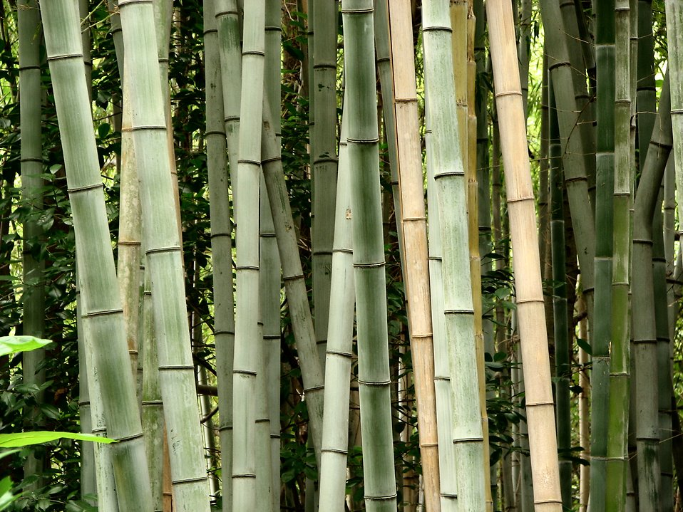 Bamboo : Free Stock Photo