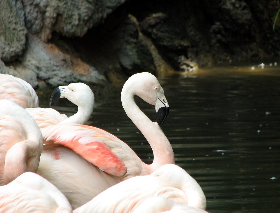 Flamingos : Free Stock Photo
