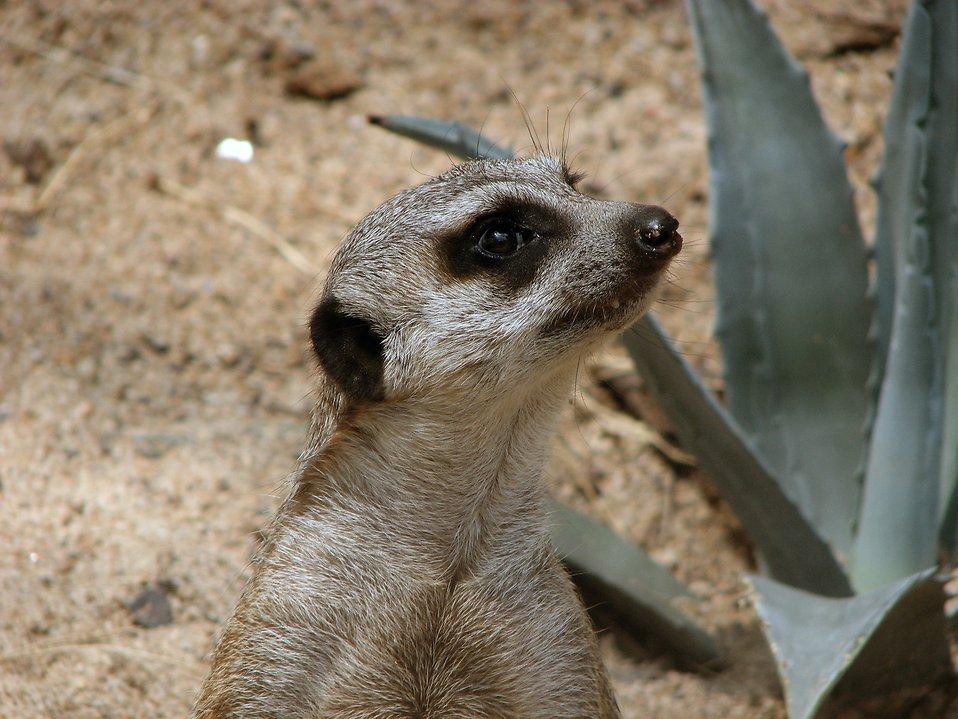 Meerkat standing : Free Stock Photo