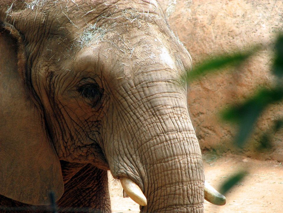 Elephant portrait : Free Stock Photo