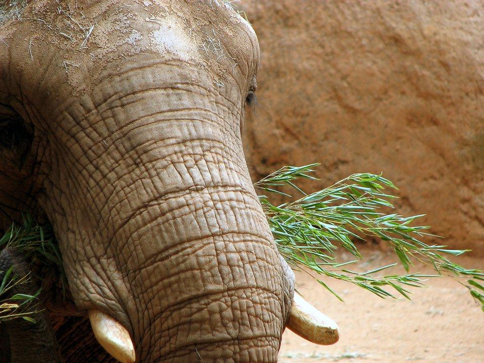 Elephant portrait : Free Stock Photo