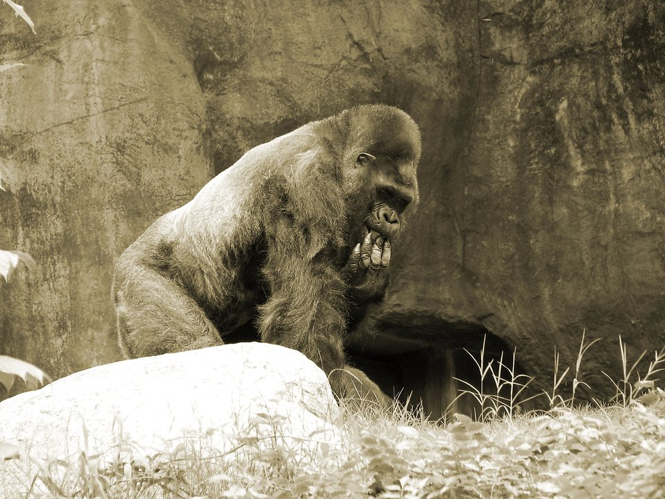 Gorilla in black and white : Free Stock Photo