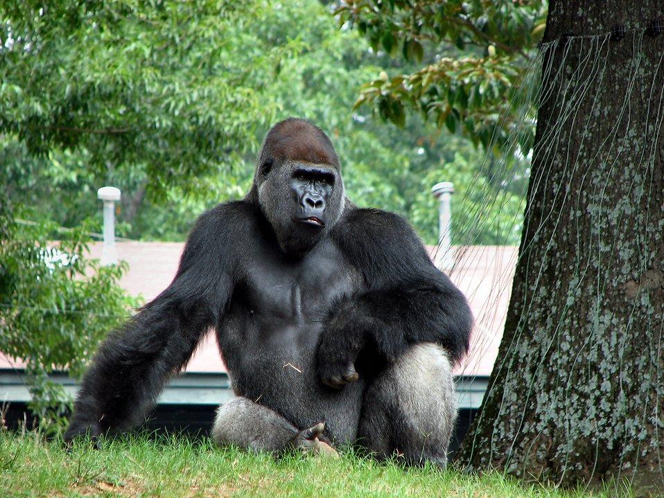 Gorilla portrait : Free Stock Photo