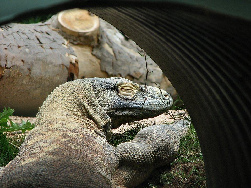 Komodo dragon : Free Stock Photo