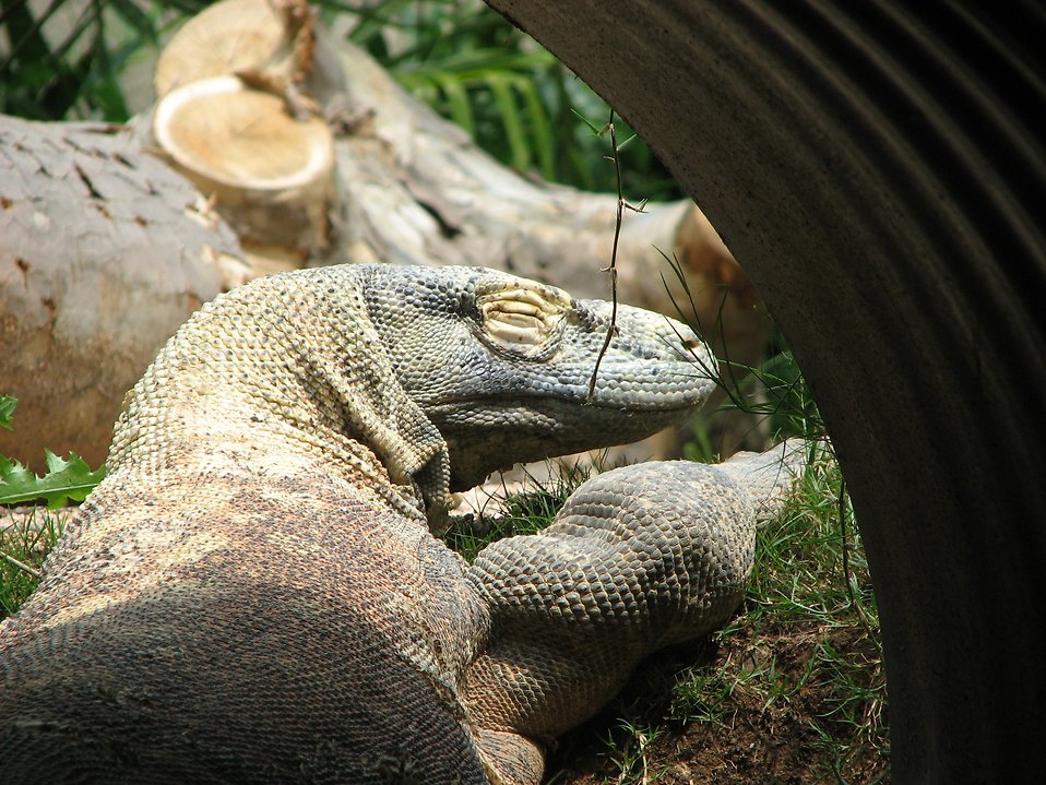 Komodo dragon : Free Stock Photo