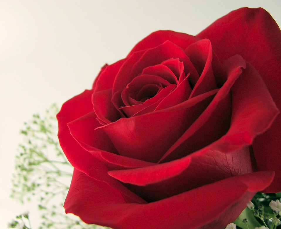 Red rose closeup : Free Stock Photo