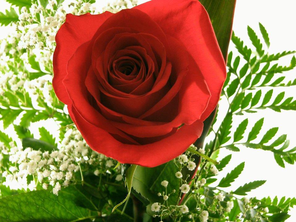 Red rose closeup : Free Stock Photo