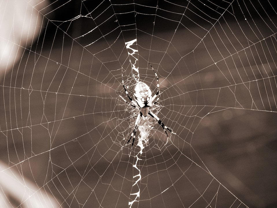 Spider on a web : Free Stock Photo