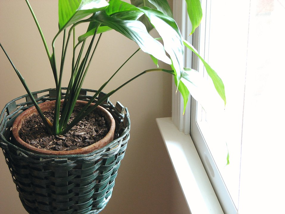 Indoor potted plant : Free Stock Photo