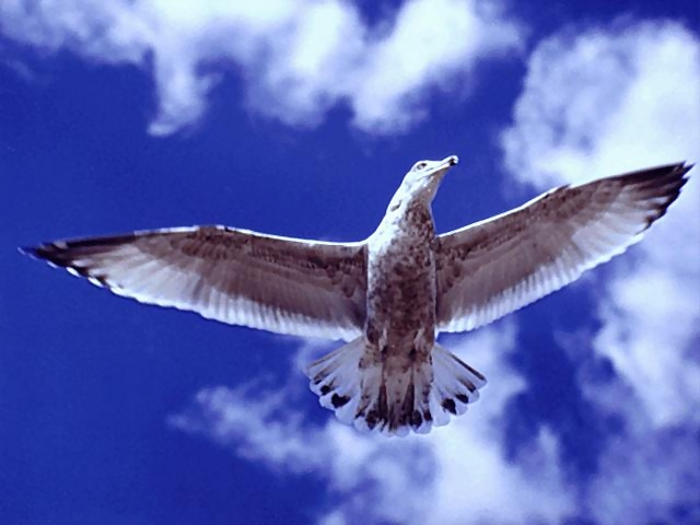 Seagull flying : Free Stock Photo