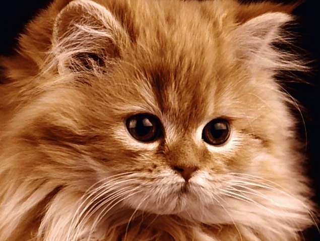 Closeup portrait of a kitten with long hair.