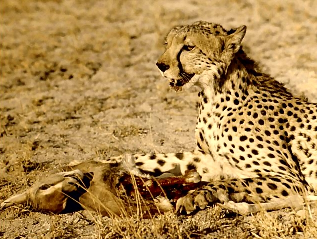 Cheetah eating : Free Stock Photo