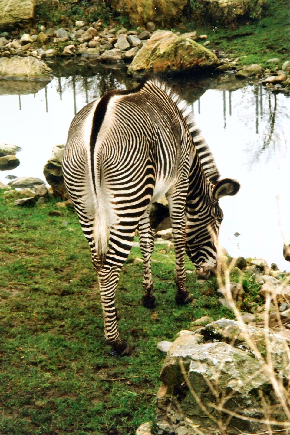 Zebra at a stream : Free Stock Photo