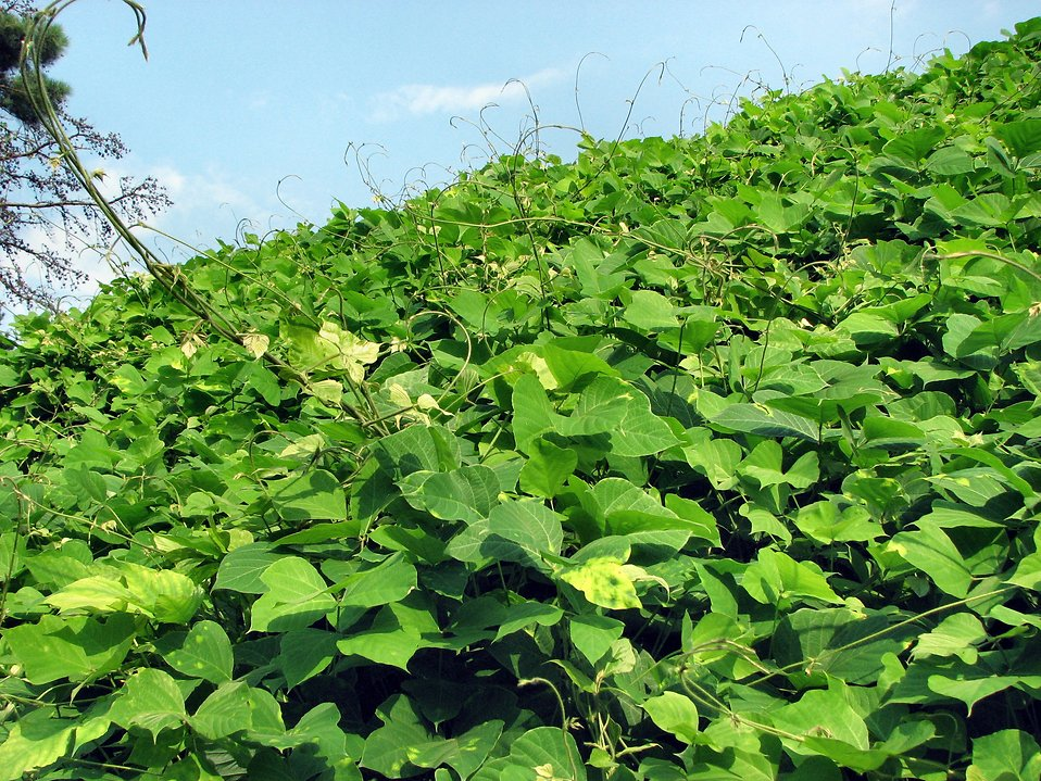 Kudzu : Free Stock Photo
