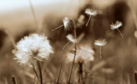 Sepia tone dandelion : Free Stock Photo