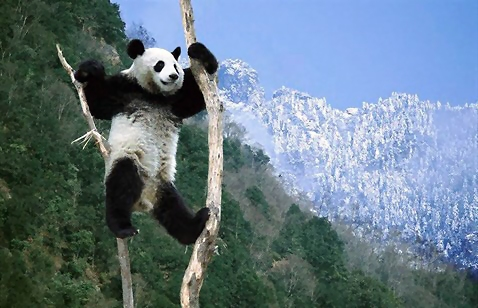 Panda in a tree : Free Stock Photo