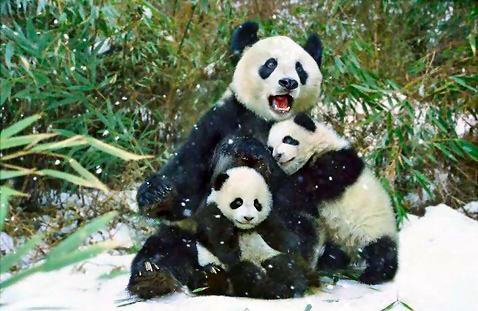 Group of pandas in the snow : Free Stock Photo