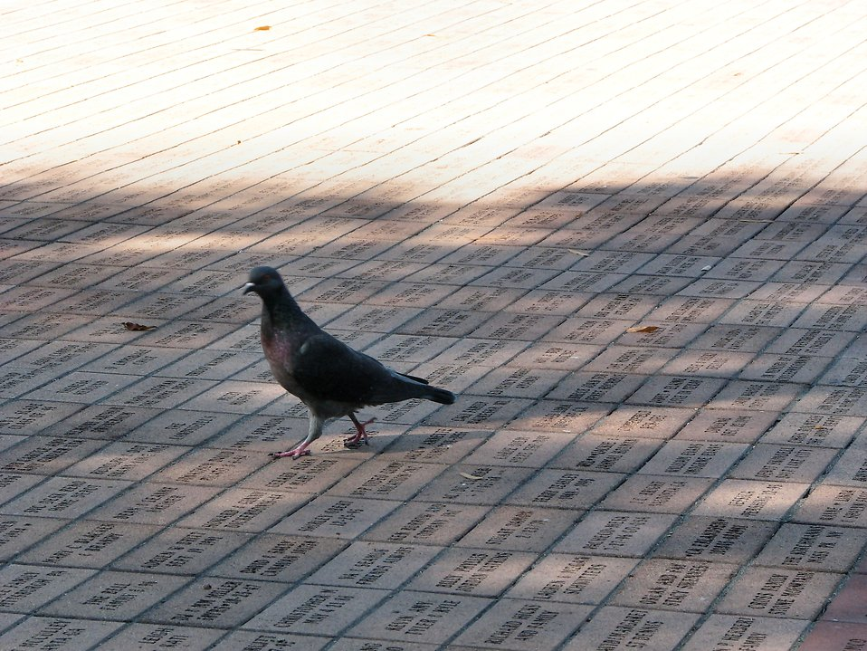 Pigeon on bricks : Free Stock Photo