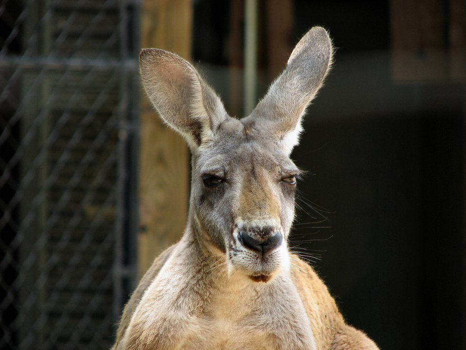 Kangaroo portrait : Free Stock Photo