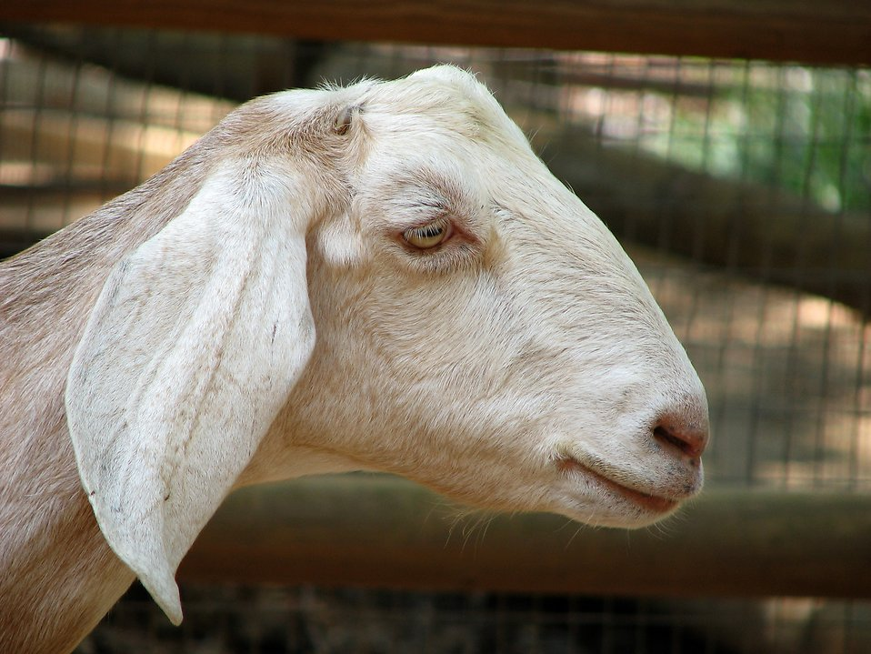 Goat portrait : Free Stock Photo