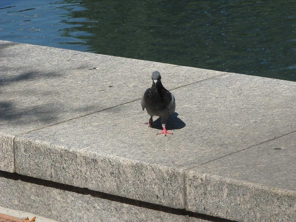 Pigeon near a reflecting pool : Free Stock Photo