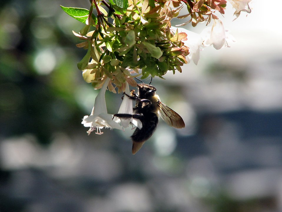 Bee on white flower : Free Stock Photo