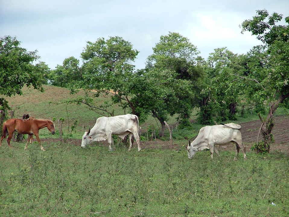 Horse and cows grazing : Free Stock Photo