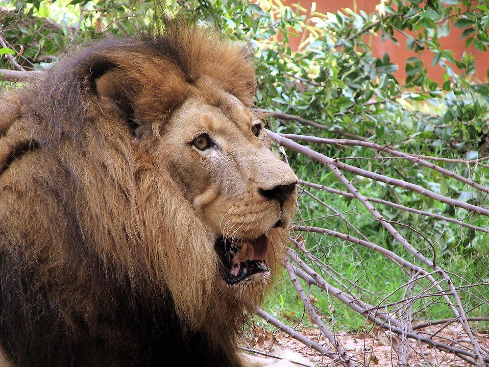 Closeup of a lion : Free Stock Photo