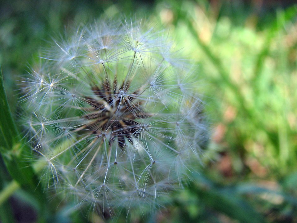 Dandelion in the grass : Free Stock Photo