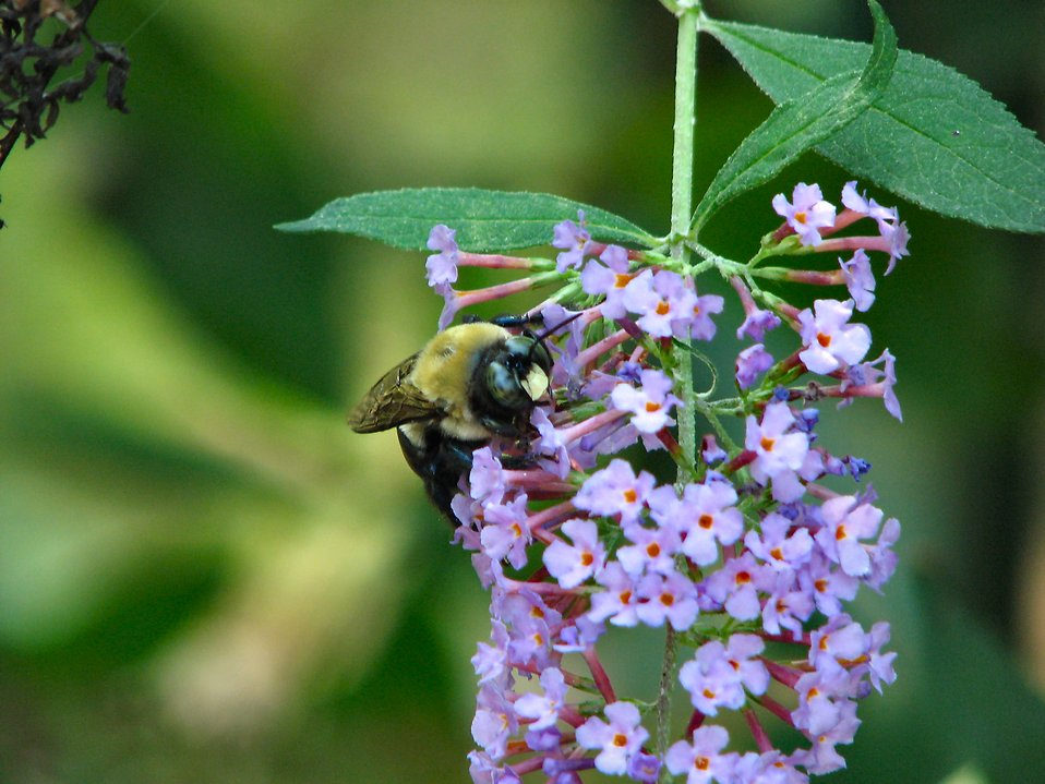 Bumblebee on purple flowers : Free Stock Photo