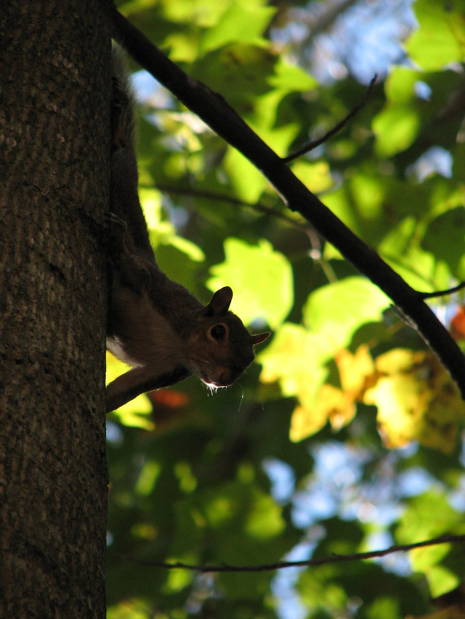 Squirrel in tree leaves : Free Stock Photo