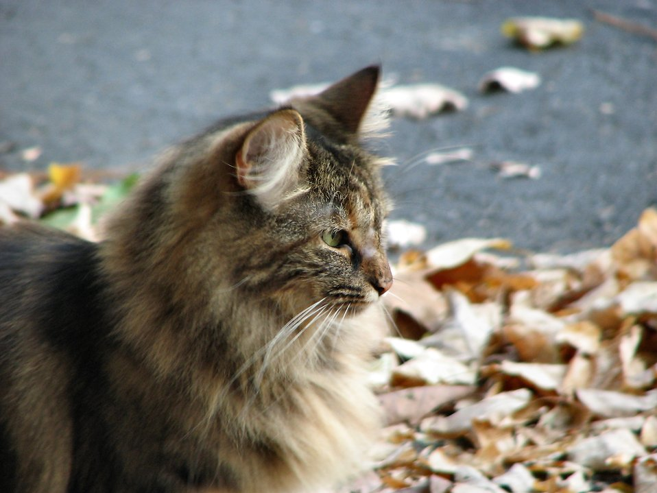 Cat standing in leaves : Free Stock Photo