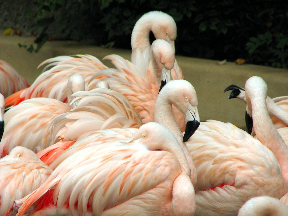 Many pink flamingos : Free Stock Photo
