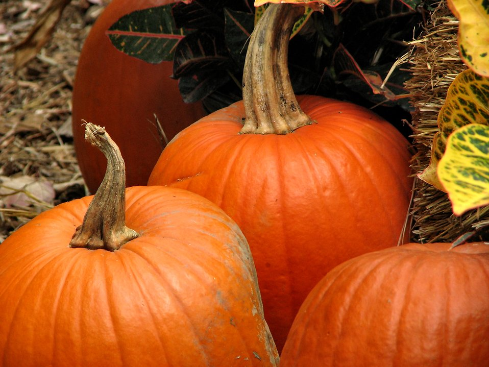 Pumpkins in straw : Free Stock Photo
