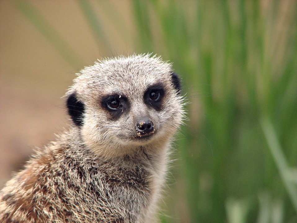 Closeup portrait of a meerkat : Free Stock Photo