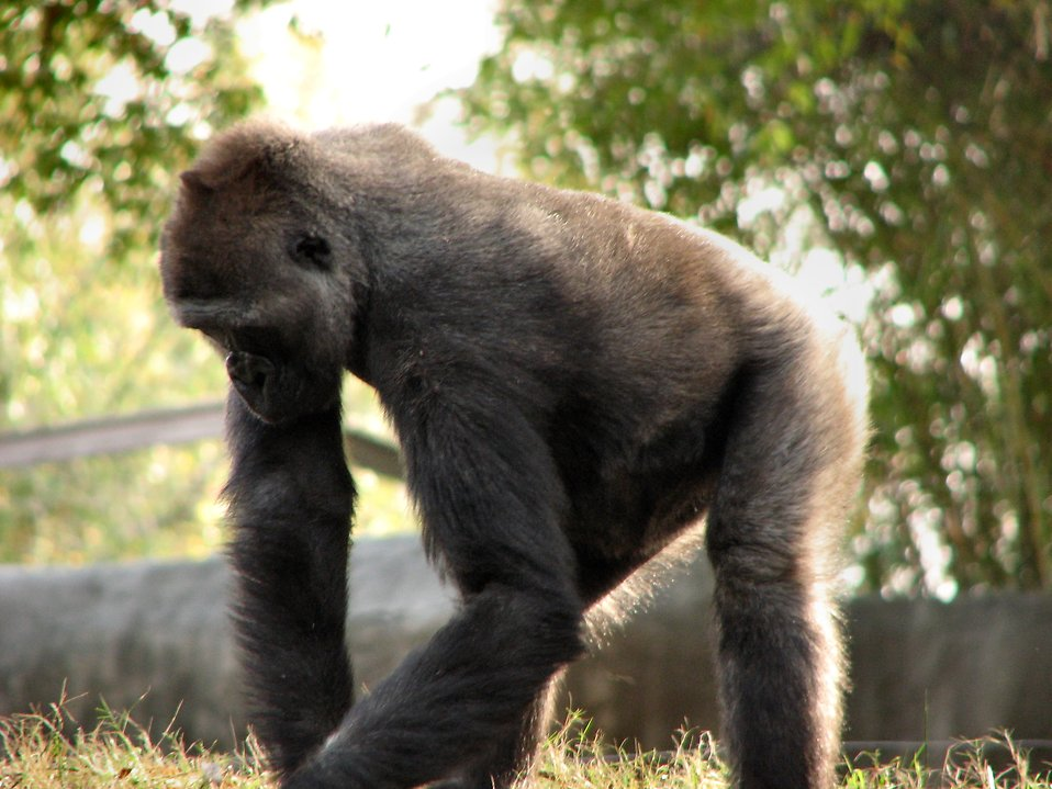 Gorilla picking at grass : Free Stock Photo