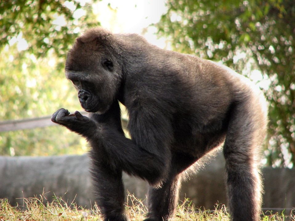 Gorilla looking at its hand : Free Stock Photo