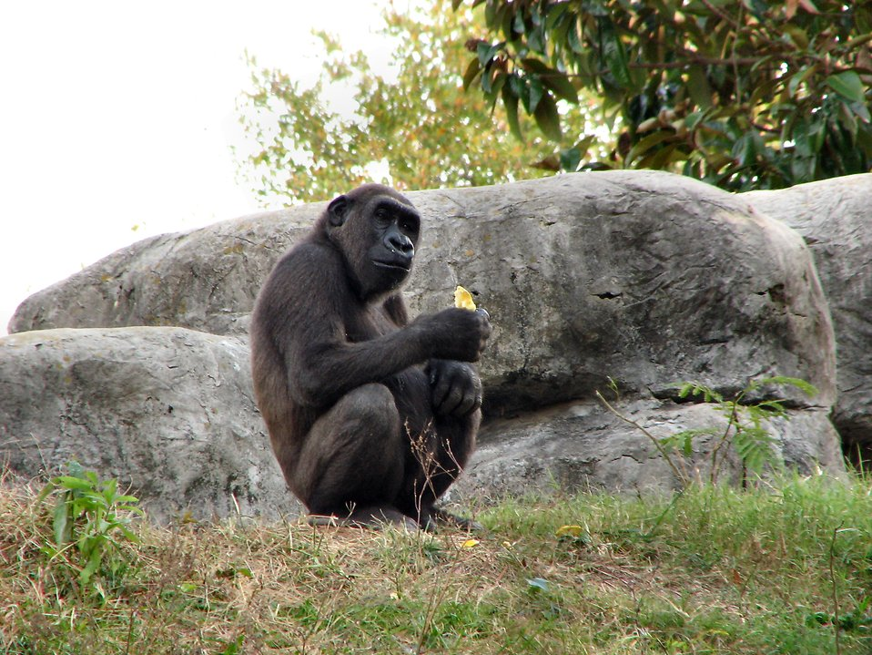 Gorilla eating an orange : Free Stock Photo