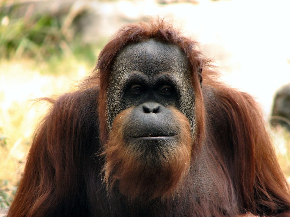 Orangutan portrait : Free Stock Photo