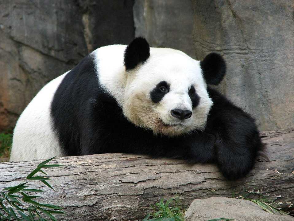 Panda resting on a log : Free Stock Photo