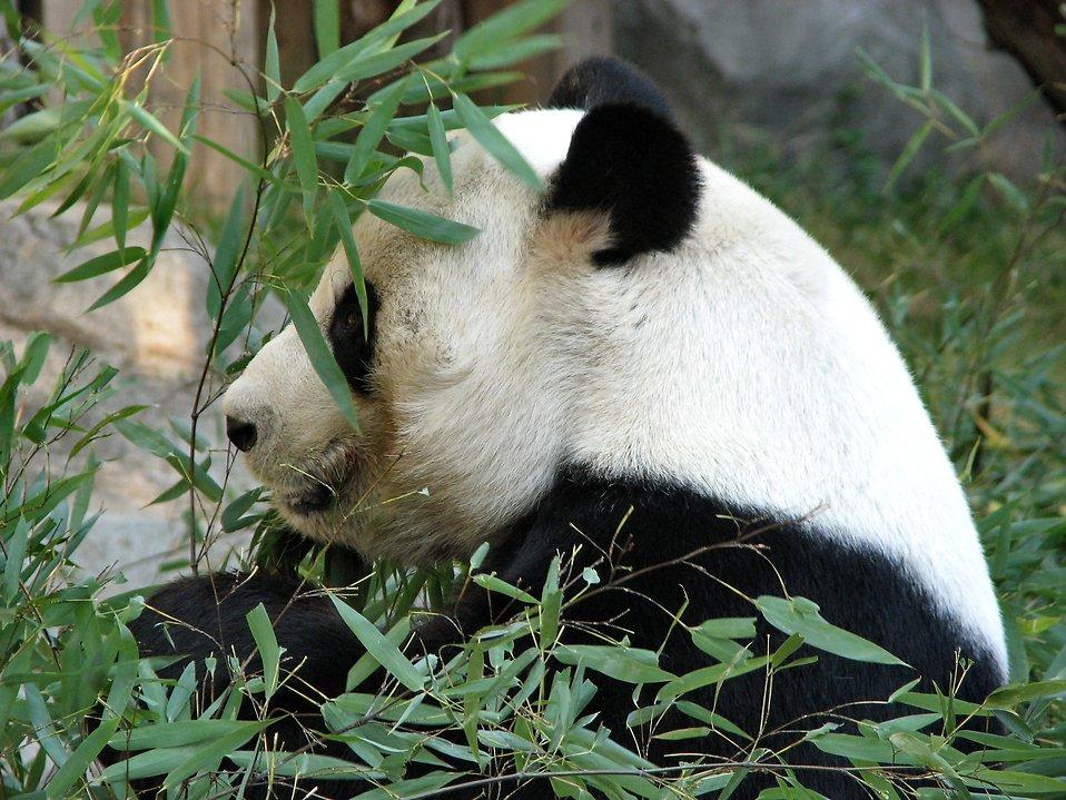 Closeup of a panda in some bamboo : Free Stock Photo