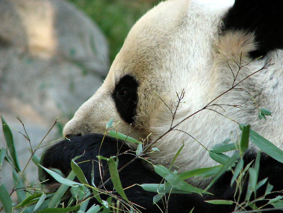 Closeup of a panda eating bamboo : Free Stock Photo