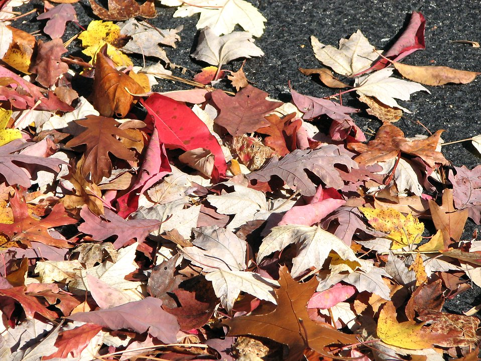 Pile of autumn leaves : Free Stock Photo