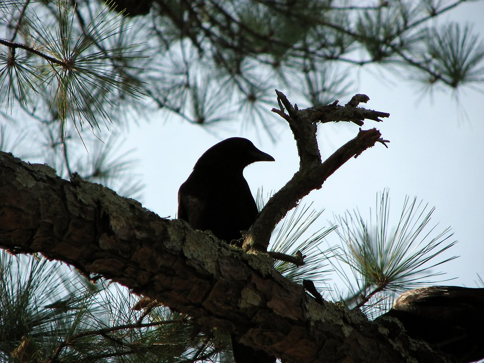 Silhouette of a crow in a tree : Free Stock Photo